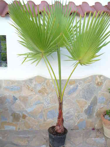 Washingtonia Palme - robusta -