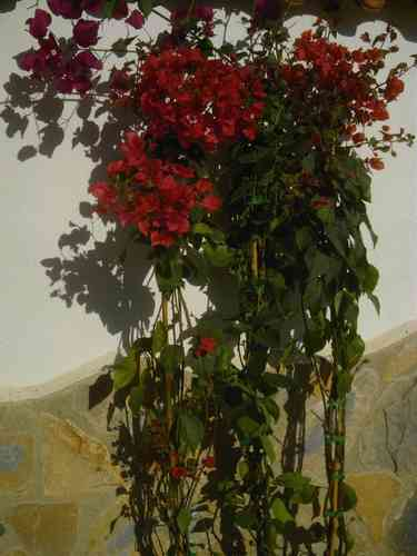 Bougainvillea 3er Set