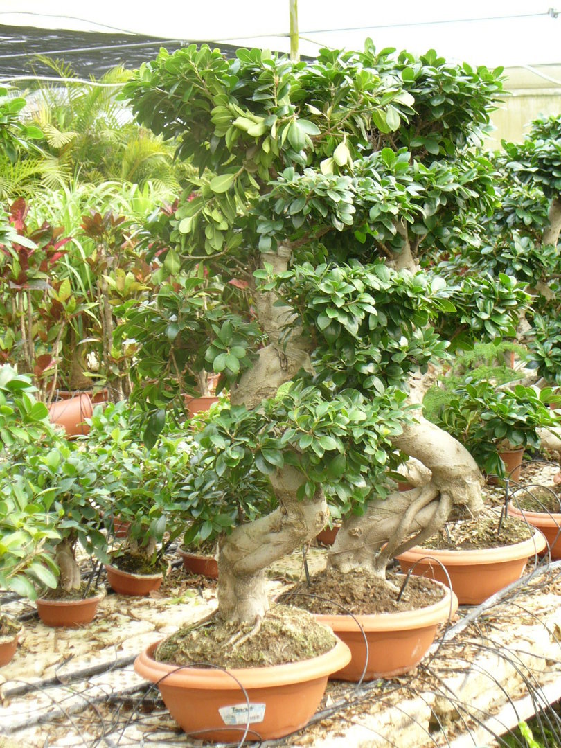 Bonsai gross jardines de jaravia for Bonsai pflanzen