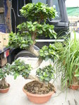Bonsai -Angebot-